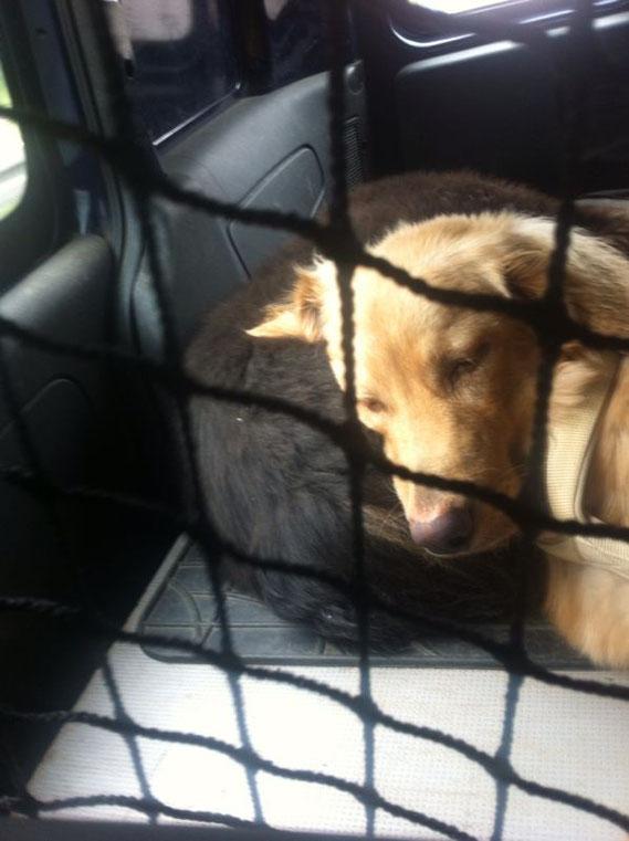 Wenn man schon ständig im Auto gefangen gehalten wird, muss man wenigsten komfortabel liegen, Booker  mit 7 Monaten auf Feah