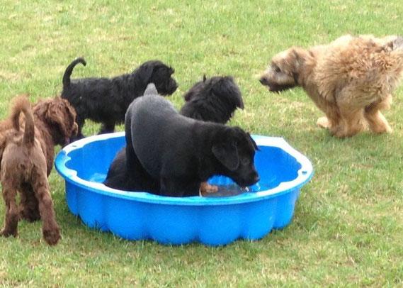 """Bera (Wanne hinten), geht 3x in der Woche zur Welpenstunde. Ihre besten Freunde sind ein portugiesischer Wasserhund ( links) und ein grauer Labrador (nicht auf dem Bild). Wie es scheint, """"steht"""" sie eher auf Jungs, gute Erinnerungen an die 5 Brüder?"""