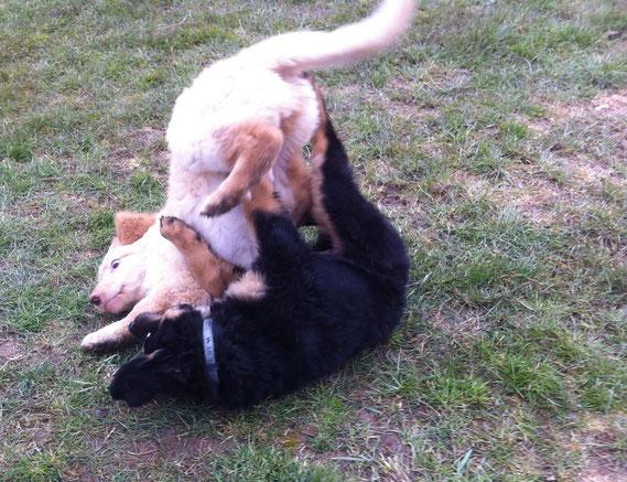 wild games with Bastian in puppie-school/ wilde Jungs in der Welpenschule