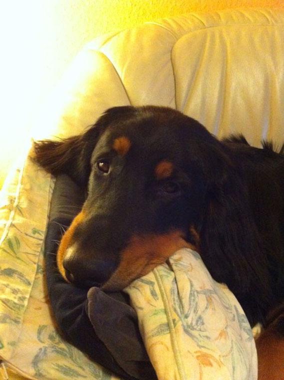 Nachtrag von dem Hund, der eigentlich nicht aufs Sofa sollte. Mitlerweile liegen für ihn dort bis zu drei Kissen parat, auf denen er sein hübsches Köpfchen ablegen kann. Hat er doch gut eingefädelt, oder?
