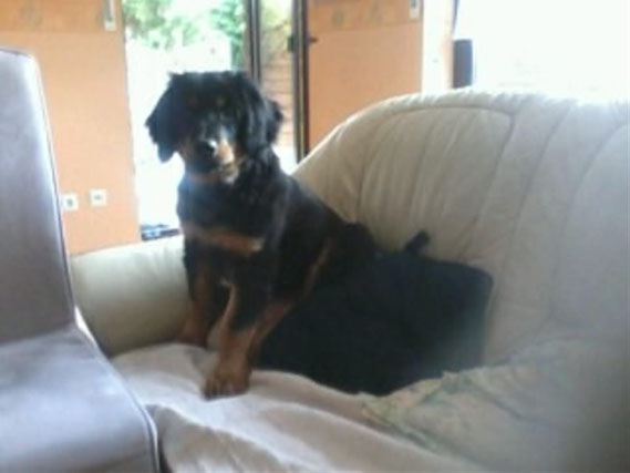 Baki gehört zu den Hunden, die NICHT auf´s Sofa dürfen! Aber wenn der böse Staubsauger kommt, drückt man schon mal ein Auge zu und macht stattdessen ein Bild, von dem Hund der nicht auf´s Sofa darf....; 23.04.2013