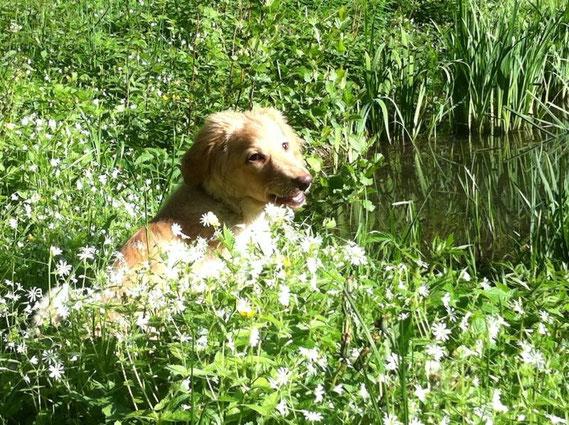 König der Blumenwiese