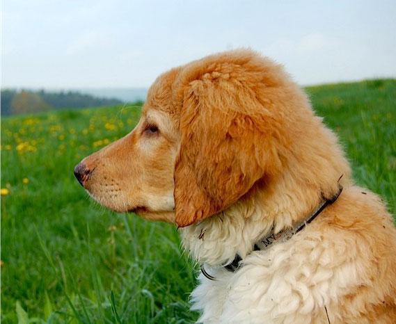 wunderhübscher Blondling, mit tollen Aufhellungen (und noch puscheligen, langen Fell, in dem sich der Dreck so gut sammeln lässt...)