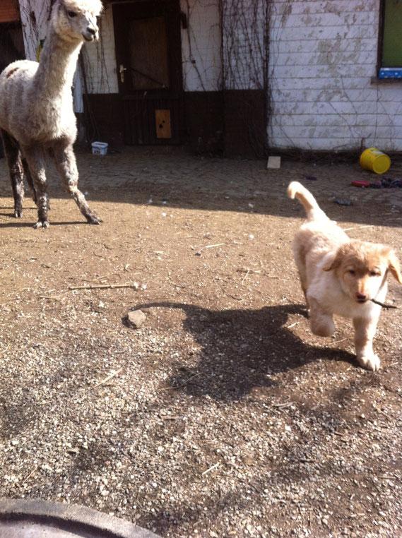 Birdy asks an alpaca to play with him..., 02.03.2013/ Birdy fordert Alpaca Pegasus zum Spielen auf