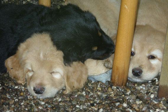 Zwischen den Stühlen, (von links nach rechts: Antek, Annabelle, Amie ) 6 Wochen 3 Tage