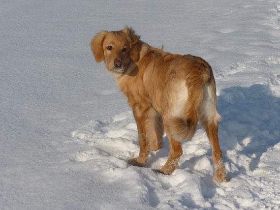 Traumhovawart mit 6 Monaten: Antek (Merlin) vom Silberdistelwald