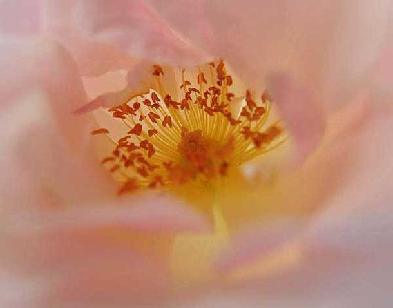 das blüteninnere eine heckenrose