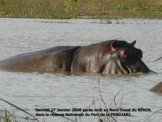 Un hippopotame dans la Pendjari. 249 KO.