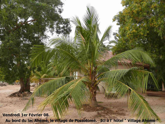Derrière ce cocotier nain, une grande chambre de l'hôtel au bord du lac Ahémé.  538 KO.