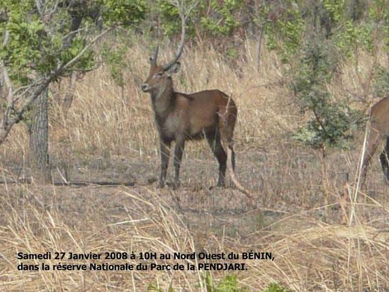 Un Cob de Fasao dans le Parc de la Pendjari Dim. 27 Janv. 2008. 284 KO.