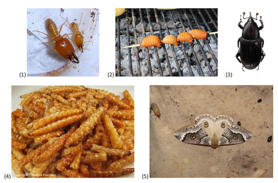 Figure 3 : (1) Macrotermes subhyalinus © termiteweb.com ; (2) Rhynchophorus phoenicis larve © Dr. Morley Read ; (3) Rhynchophorus phoenicis adulte © biolib.cz ; (4) Usta terpischore chenille © Marcus Harrison ; (5) Usta terpischore © galerie-insecte.org