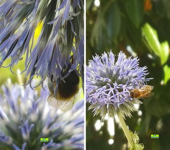 Bienen beim Nektartrinken an einer Kugeldistel von K.D. Michaelis