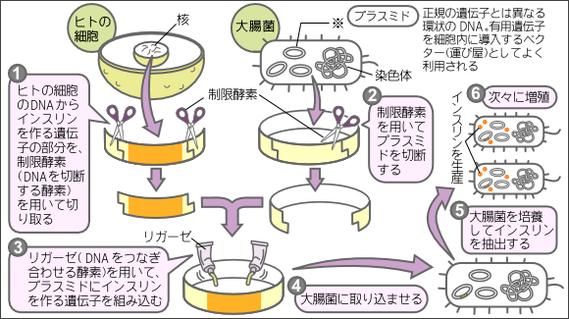 図1 大腸菌によるヒトインスリンの生産