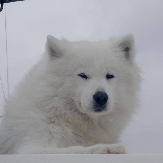 Der Greenland Husky Dog vom Nachbarboot