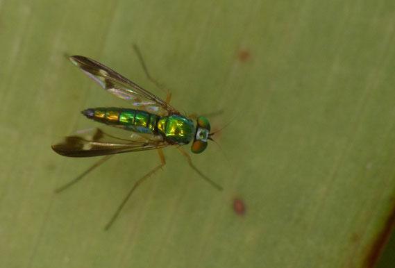 マダラホソアシナガバエ Condylostylus nebulosus (Dolichopodidae, Sciapodinae)