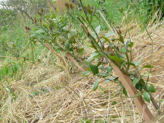 苗木にわらを敷く