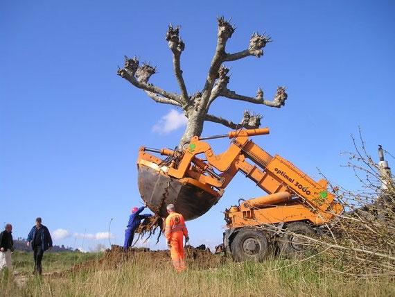 transplanting trees transplantar árboles