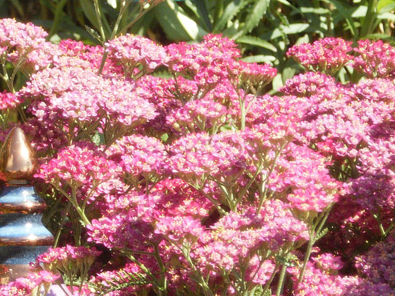 rosa Schafgarbe (Millefolium)