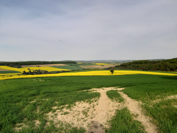 Taunus: Rapsfelder im Frühjahr