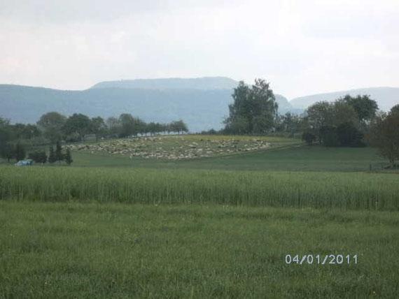 Im Hintergrund eine von zwei Schafherden von Walter und Elly am Fuße der Schwäbischen Alb