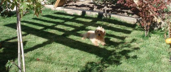 Mi perrita,  Zarza (teckel rubia) en el Jardin