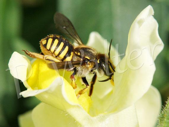 Bild: Garten-Wollbiene, Große Wollbiene, Anthidium manicatum, Löwenmäulchen