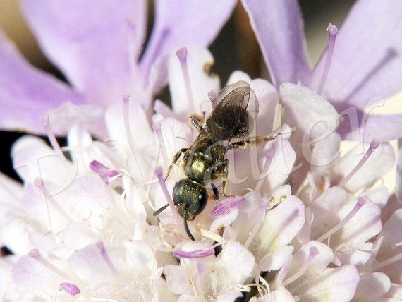 Bild: Furchenbiene an einer Skabiose