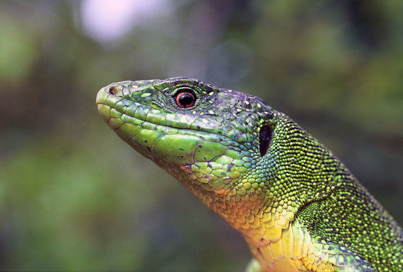 Ce beau lézard vert observe le photographe!
