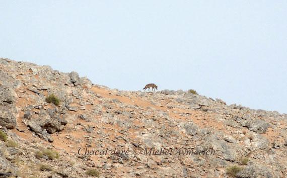 Chacal doré (Canis aureus), Massif de Leglet, avant Aousserd © Michel Aymerich