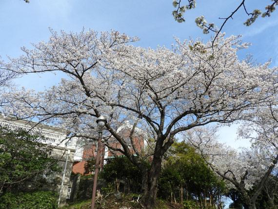 桜に囲まれた、大佛次郎記念館
