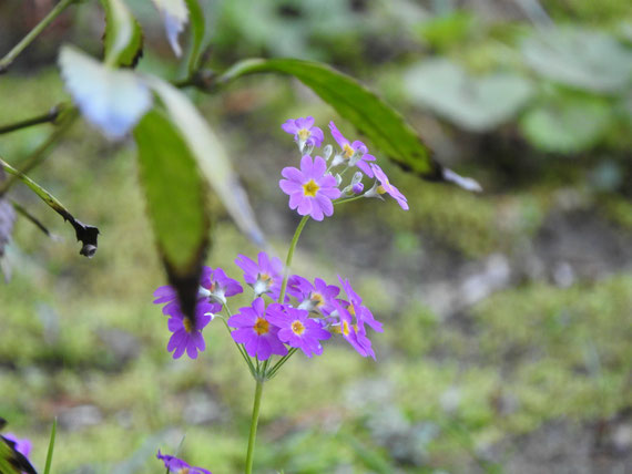 方丈・客殿の中庭に咲く袋撫子