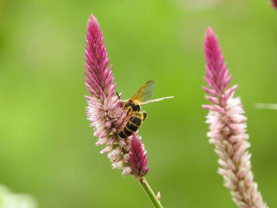 野鶏頭にとまるミツバチ
