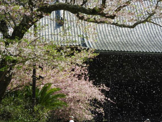 初めて見た、桜吹雪。今回は桜と海棠の両方の花を堪能しました。