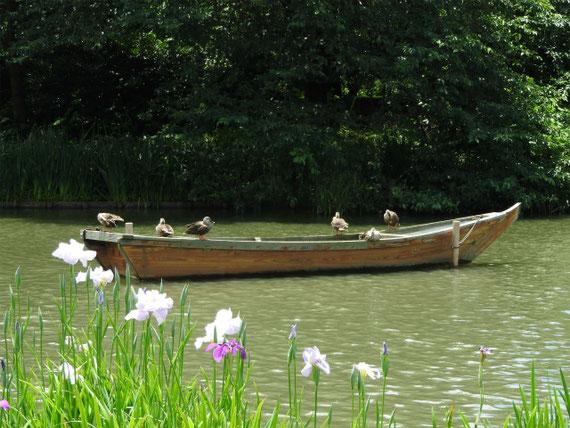 花菖蒲と夏鴨