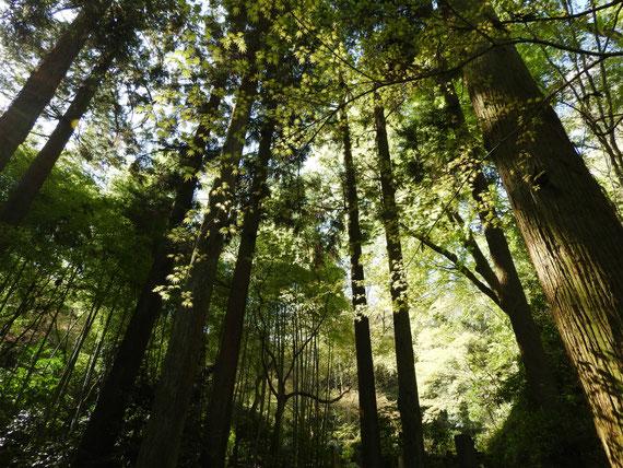 墓苑への参道の樹木