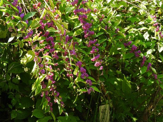 黄梅院の紫式部の花実