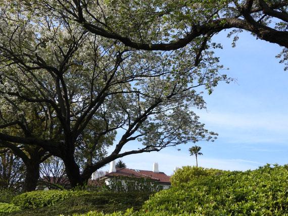 ローズガーデン内の桜とイギリス館