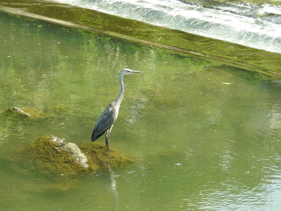 散策路河川の青鷺