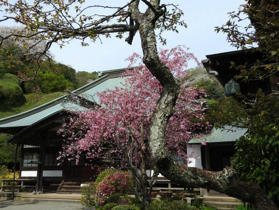 客殿横から本堂と花海棠