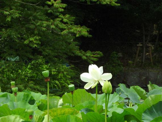 平家池の蓮の花