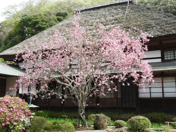 茅葺屋根の客殿と花海棠