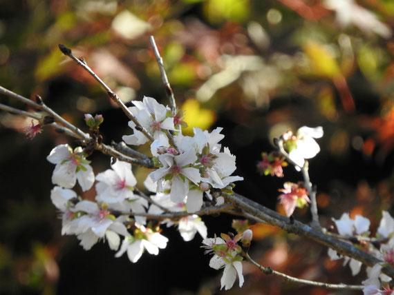 12月の冬桜