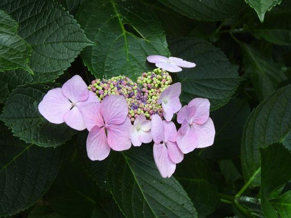 甘縄神社の額紫陽花