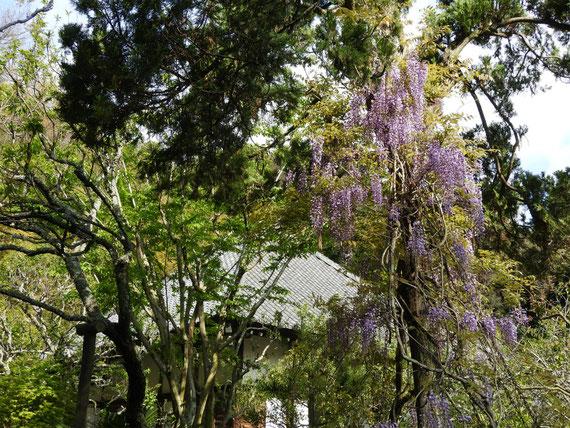 木立に絡む藤の花と本堂