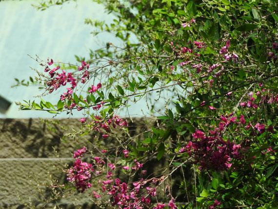 海蔵寺山門の、萩の花