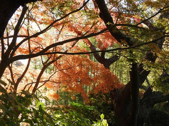 報国寺境内の紅葉