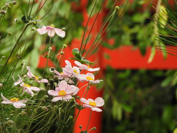 長谷寺の秋明菊ピンク 161002撮影