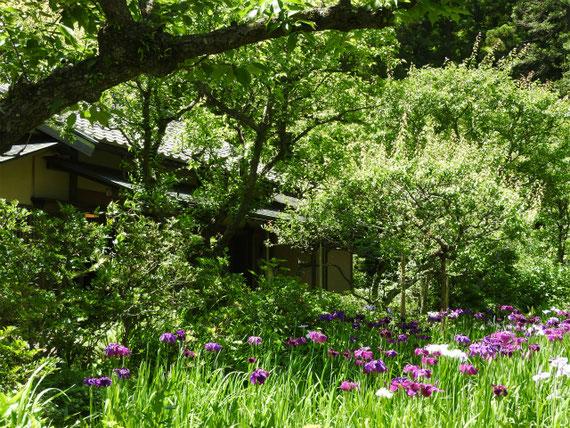 茶室「寒雲亭」の前の花菖蒲