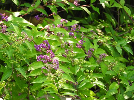 鐘楼門前の、紫式部の花実
