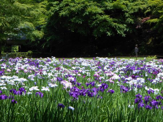裏庭園の花菖蒲。 今回は暑さで少ししおれ気味。 来年のベストショットを期待。
